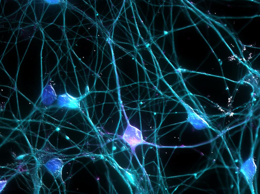 Neurogenesi e Cervello: apprendimento, attività fisica e ambiente stimolano la produzione di nuovi neuroni anche in età adulta